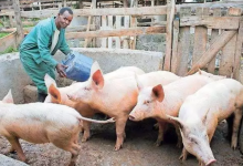 Photo of Do You know You Can Make A Lot Of Money Through Pig Farming? LEARN MORE